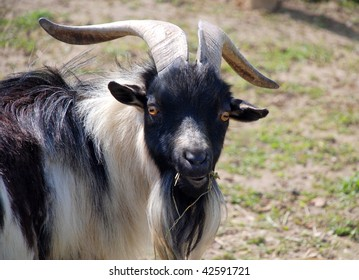 goat chewing hay