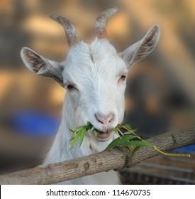 Goat chews a branch