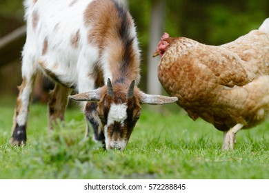 goat and chicken on meadow