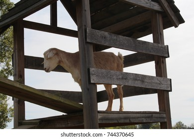 Goat climbing up wooden planks on farm at petting zoo