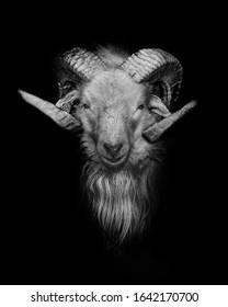 Goat close up fine art portrait