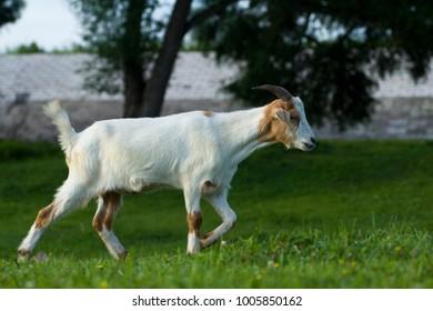 Goat closeup image
