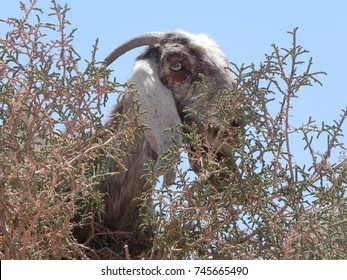 Goat closeup in Petra, Jordan