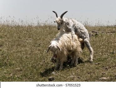 goat copulation scene
