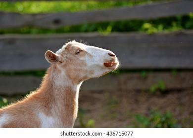 Goat domestic
