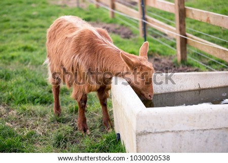 goat drinking water trough stock photo edit now 1030020538