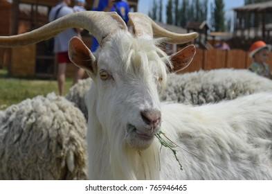 the goat eat