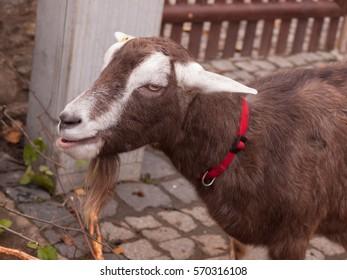 Goat eating in Botanical garden of Erfurt in autumn, Germany