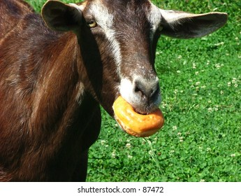 Goat eating a donut