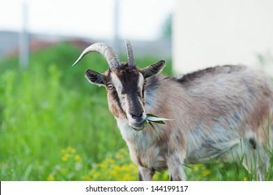 Goat eating a grass