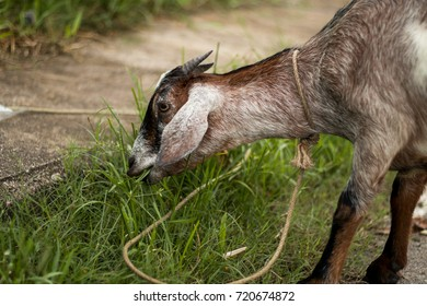Goat eating the grass