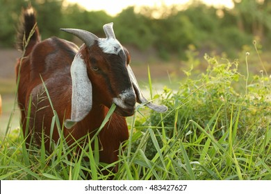 Goat eating a grass in the farm