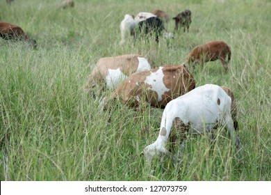 goat eating grass in field.