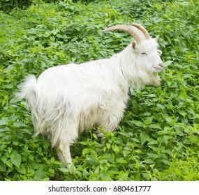 Goat eating grass in the garden.