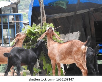 goat eating grass in a group