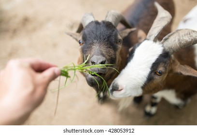 goat eating grass with his hands