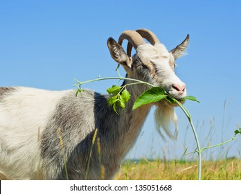 Goat eating the grass on the green meadow