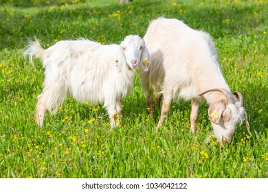 Goat eating grass on a pasture