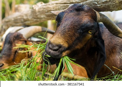 goat eating a grass in a zoo