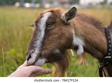 The goat eating from the hand/ Selective focus/ Close up