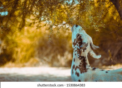 A goat eating leaves of a tree in a rural area of sindh pakistan