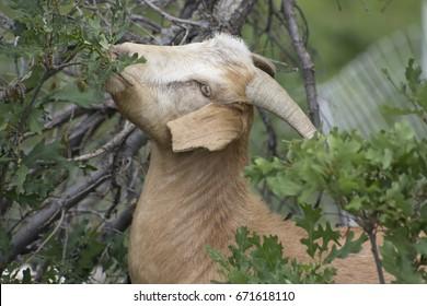Goat Eating Scrub Oak