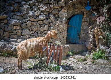 A goat eating from a trash bin along the hiking trail through the Imbros Gorge, Crete, Greece.