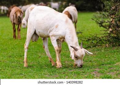 Goat eats the grass
