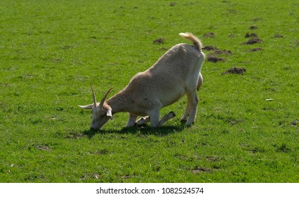 A goat eats grass in a kneeling pose