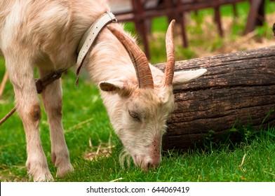 goat eats grass near the tree