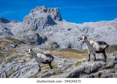 Goat family