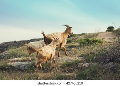 Goat family walking in the mountains