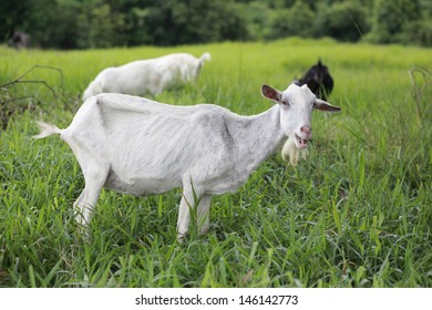 Goat in the farm.