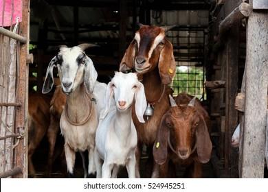 Goat in farm.
