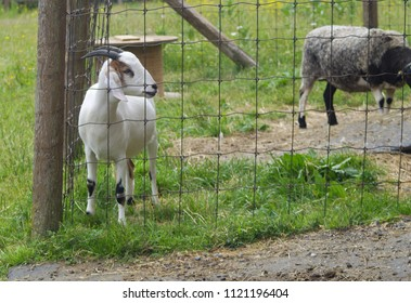 goat farm agriculture mammal in enclosure