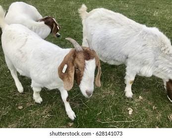 Goat Farm funny animal faces
