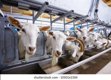 goat farm milking machine