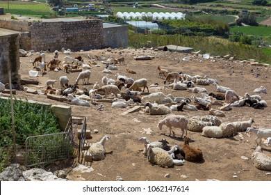 Goat farm in Mtarfa Malta
