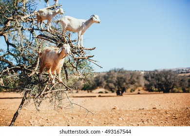 Goat feeding in argan tree. Marocco