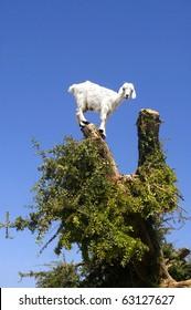 Goat feeding in argan tree. Marocco