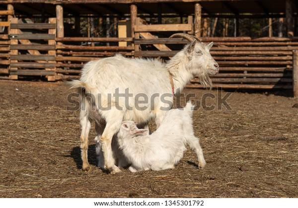 Goat Feeding Baby Milk On Farm Stock Photo (Edit Now) 1345301792