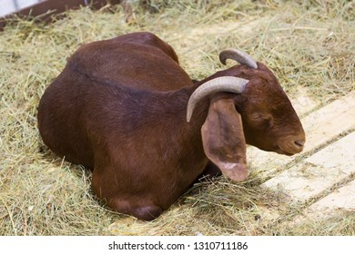 Goat (female). Kalahari red breed. Kalahari red goat is a meat breed originating from South Africa. Animals are very large and have a red color. They have a long and highly flexible ears.