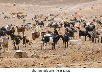 Goat flock in naked mountains