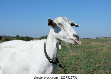 The goat is fooling around, grimacing. Animal emotions