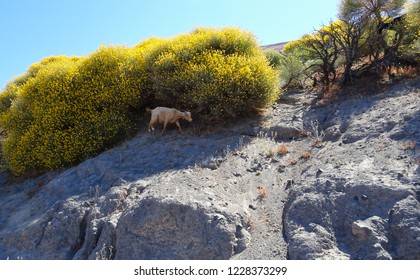 A goat in front of a yellow bush on the island of Vulcano in Italy