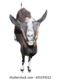 Goat full length. Brown goat isolated on white background. Goat with a funny muzzle and big teeth looking at the camera. Farm animals. Goat isolated full length close up.
