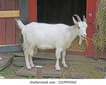 A goat gets a meal, Mariebergskogen  Karlstad Sweden