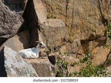 goat, goats, goat on a meadow, portrait of a goat goat on rock, Bornholm, Denmark