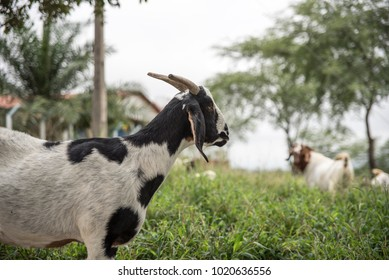 goat in the grass