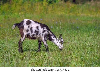 A goat grazes on a green meadow in summer